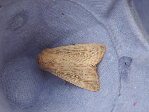 Poss Obscure Wainscot