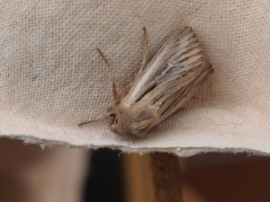 Shoulder-striped Wainscot Mythimna comma 2