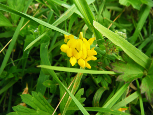 Greater Bird's-foot Trefoil