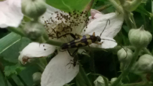 Unknown insect on garden bramble/blackberry bush
