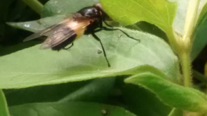 Unknown insect on lilac & bramble