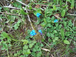 Wood ForgetMenots