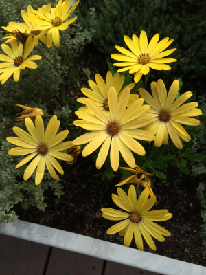 Yellow daisy-like flowering plant