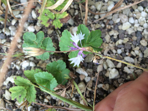 Purple/white flowering plant. Apologies for poor quality photo