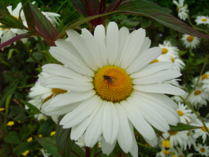 Fly feeding on Dog Daisy 2