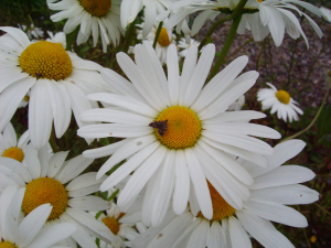 Moth feeding on Dog Daisy