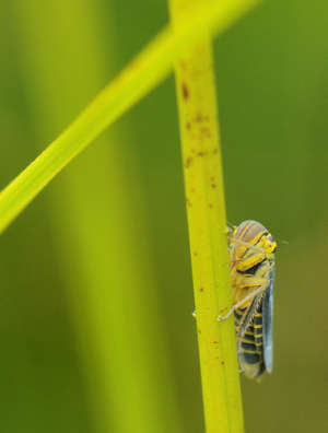 Micro grass hopper??