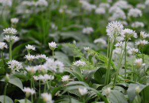 Ramson, Allium ursinum (Wild Garlic)