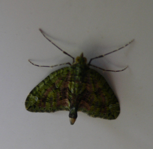 Unkown delta wing moth