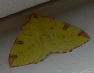 Possible Brimstone