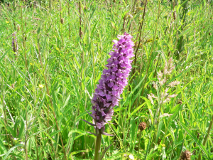 Orchid - narrow leaved Southern Marsh Orchid?