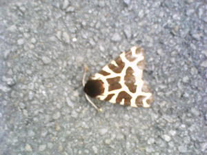 Black and white moth?