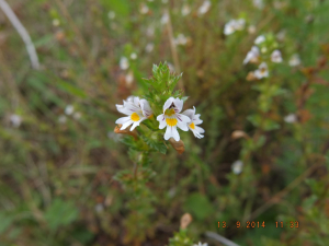 An Eyebright
