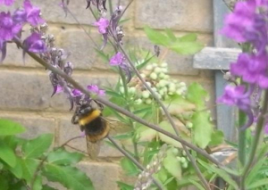 Purple Toadflax and Bee