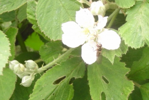 Bramble and Hoverfly