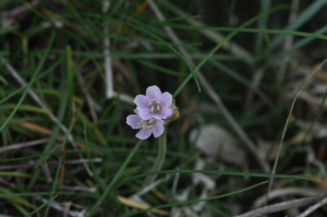 Small Pink-veined Flower