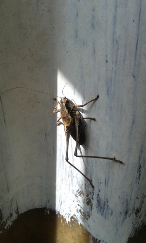 Bush Cricket