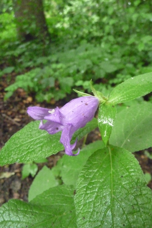 Purple Wildflower with Mint-looking Leaves