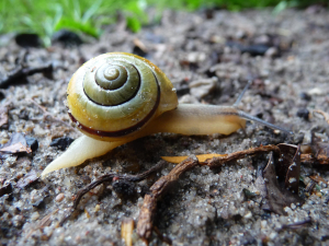 German Snail