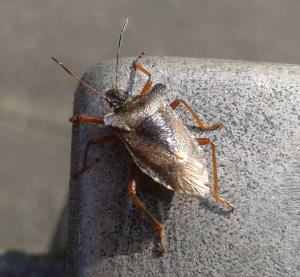 possible Green Shield Bug