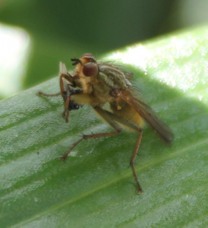 Fly on Lily Leaf