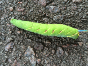Bright green caterpillar with blue spike