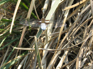 broad bodied chaser garden