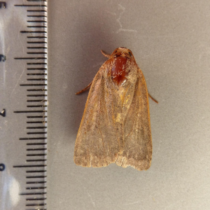 possible lesser yellow underwing also