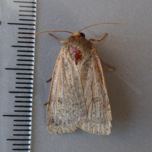 possible lesser yellow underwing