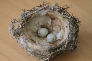 Goldfinch nest and eggs ?