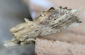 Pale Prominent - Pterostoma palpina
