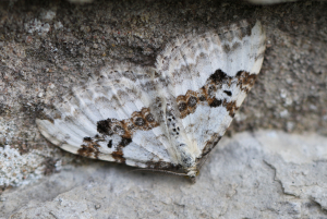 Silver-ground Carpet Moth
