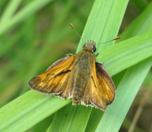 possible large skipper