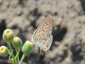 Long Tailed Blue?