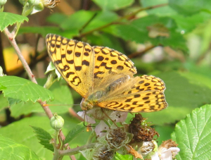 Which fritillary?
