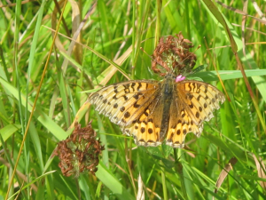 dark green fritillary?