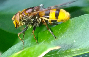 Possible hoverfly