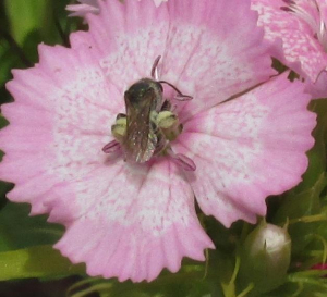 Small Bee sp