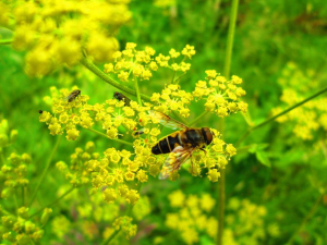 Hoverfly on angelica