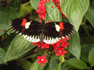 Tropical butterfly species - London Zoo
