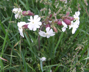 White campion with red calyx