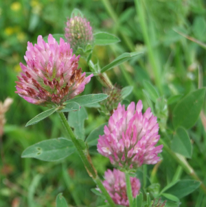 Red-coloured clover