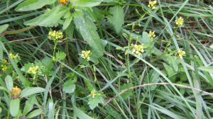 Marsh Yellow Cress