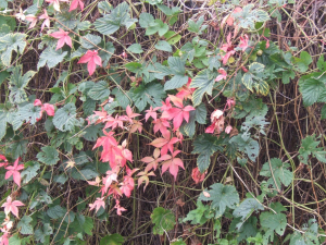 False Virginia Creeper?
