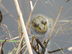 Marsh Frog - Allhallows Marshes