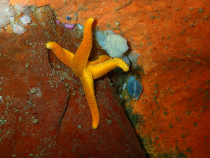 Reticulated starfish at Steenbras Deep