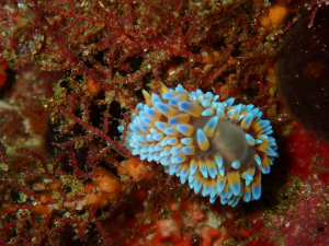 Gasflame nudibranch at Castle Rocks