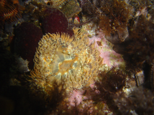 Square-mouthed striped anemone at A-Frame