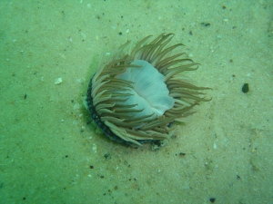 Anemone at the Bato wreck