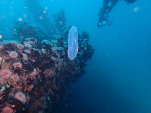 Cigar ctenophores at the Aster wreck
